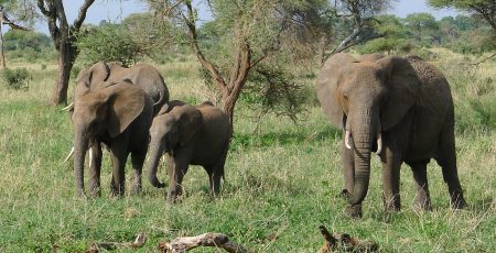 Small families of elephants like these were everywhere